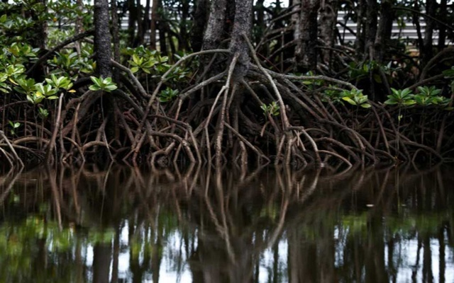 The roots of mangrove trees are seen along a river in Pitas, Sabah, Malaysia, Jul 6, 2018. Reuters