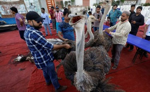 Volunteers control ostriches before slaughtering them to prepare charity food, for the first day of the fasting month of Ramadan, in Karachi, Pakistan, May 6, 2019. Reuters