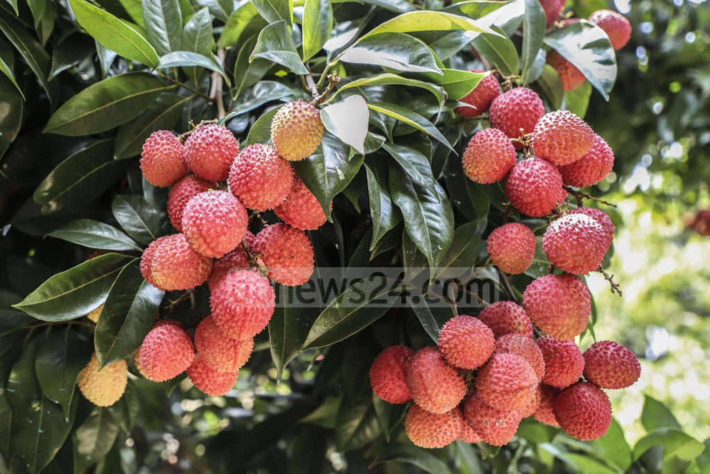 Clusters of ripe litchis at an orchard in Narayangnj's Sonargaon are ready to hit the market. Photo: Abdullah Al Momin