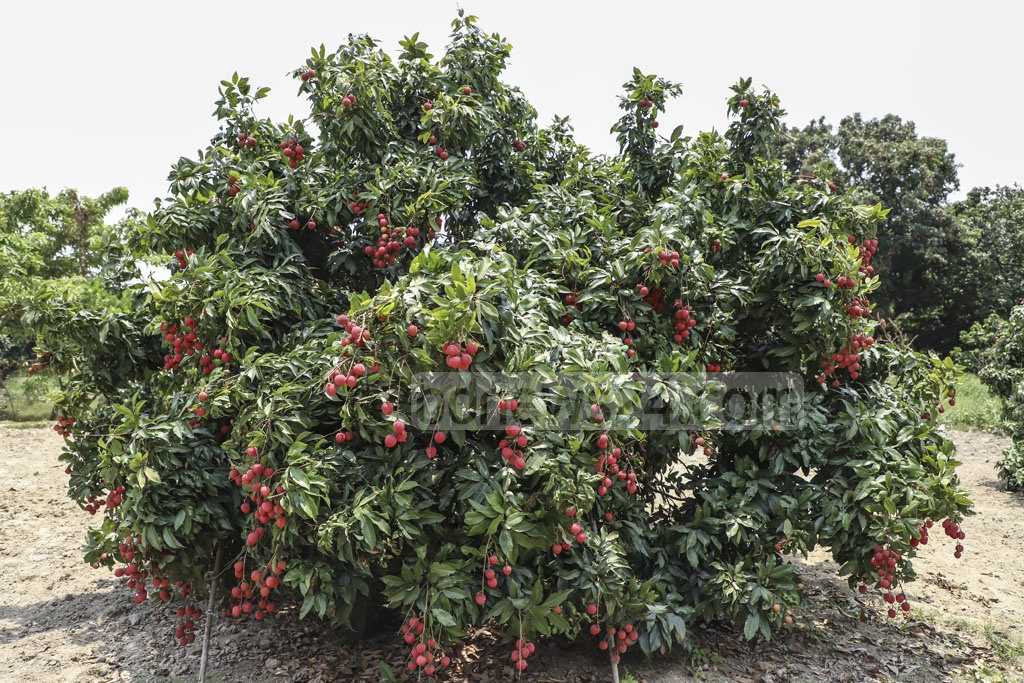 Litchi of Sonargoan orchards hit the market first. Bombay and Kadmi litchis are most available varieties from this area. Photo: Abdullah Al Momin