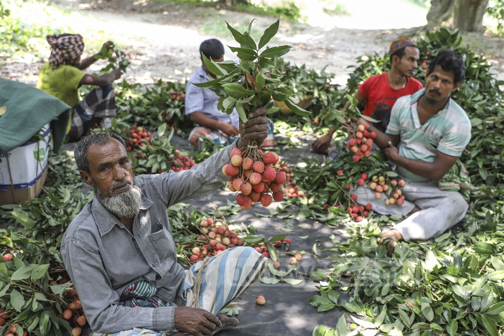 Workers are busy readying litchi for sale in the market. Every hundred litchi is being sold for Tk 400 to Tk 500. Photo: Abdullah Al Momin