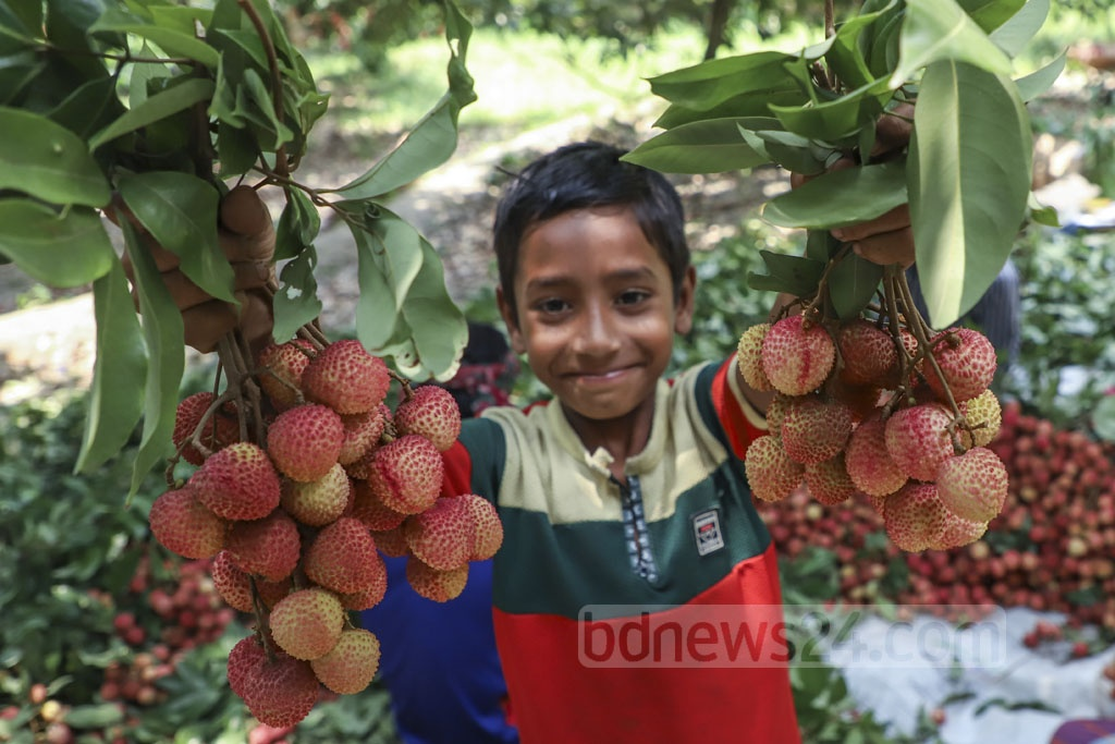 Children carrying ripe litchis collected from an orchard Sonargaon's Panamanagar. Photo: Abdullah Al Momin