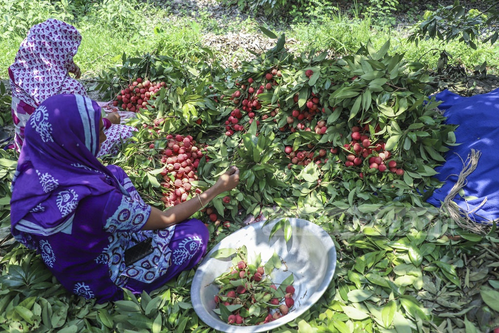 Women collect litchi from an orchard at Panamnagar in Naraynganj's Sonargaon. Photo: Abdullah Al Momin