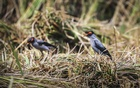 Gang Shalik or bank mynas searching for food from Boro crops harvested in Chalan Beel in Pabna's Faridpur. Photo: Asif Mahmud Ove