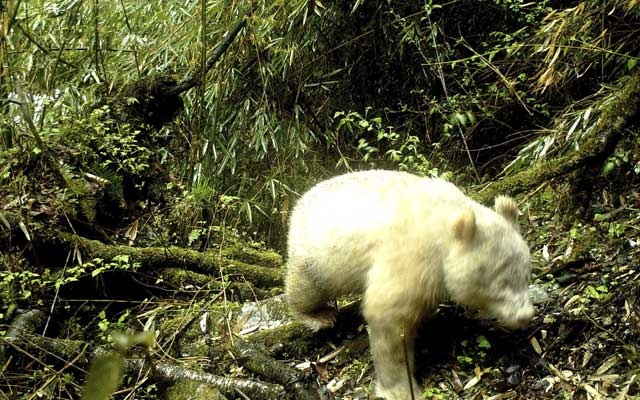 A handout image provided by the Wolong National Nature Reserve shows a rare all-white giant panda in the Wolong National Nature Reserve in Wenchuan County, China, April 20, 2019. It is the first recorded image of a wild giant panda that is fully white. The New York Times