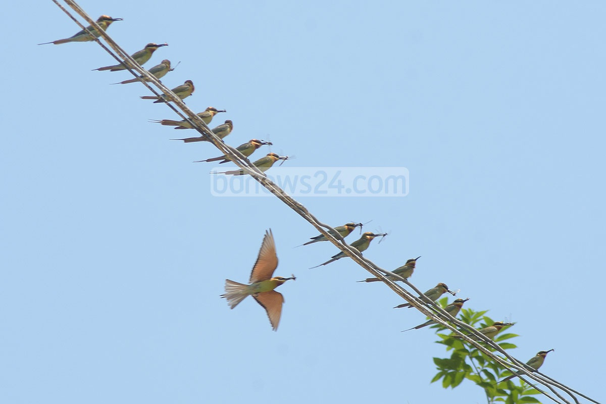 A chestnut-headed bee eater holding a grasshopper in its beak sits on the electrical wire. It was spotted in Chattogram's Sitakunda. Photo: Suman Babu