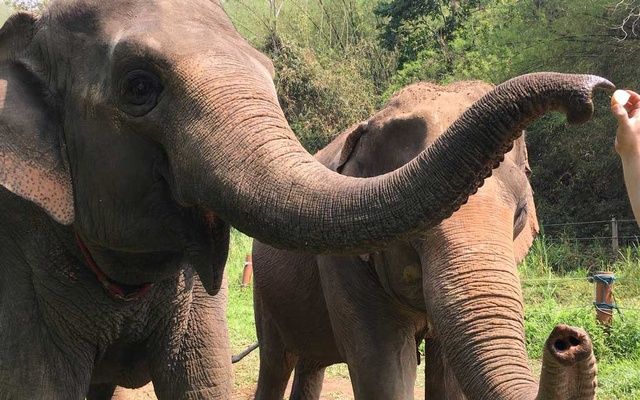 Asian elephants at the Golden Triangle Asian Elephant Foundation in Chiang Rai, Thailand. The New York Times