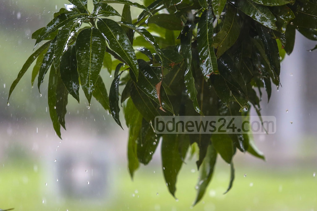 Raindrops on leaves at the Bangla Academy on Saturday. Photo: Mostafigur Rahman