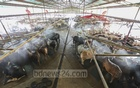 Bangladesh to stop cattle being brought from India before Eid-ul-Azha