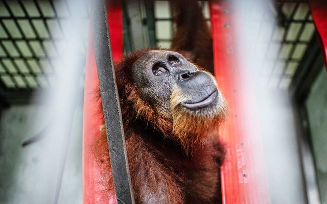 Hope, named by her rescuers, an orangutan in Indonesia who was shot and blinded by villagers and now lives in an enclosure at the Sumatran Orangutan Conservation Programme's quarantine facility, outside the city of Medan, Indonesia, on May 21, 2019. Indonesia has promised to stop clearing jungle for plantations. So why are endangered apes still on the front lines of the conservation battle? The New York Times