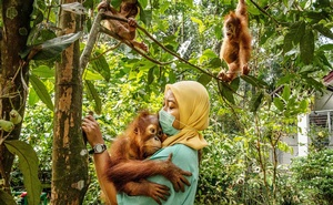 Yenny Saraswati, a veterinarian at the Sumatran Orangutan Conservation Programme's quarantine facility outside the city of Medan, Indonesia, with rescued baby orangutans, on May 21, 2019. The New York Times