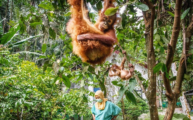 A rescued baby orangutan at the Sumatran Orangutan Conservation Programme's quarantine facility outside the city of Medan, Indonesia, with a member of the centre's staff, on May 21, 2019. The New York Times