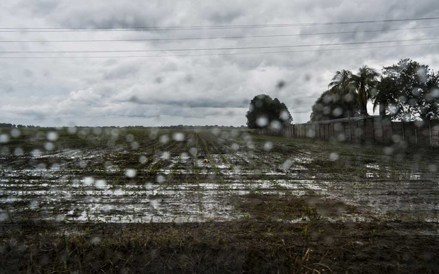 Rain falls on rice fields in Turen, Venezuela, Jun 25, 2019. Shortages of gasoline, seeds and fertilizer have brought Venezuela's already struggling agriculture industry to the brink of collapse, as produce spoils in the fields and future seasons' crops go unsown. The New York Times