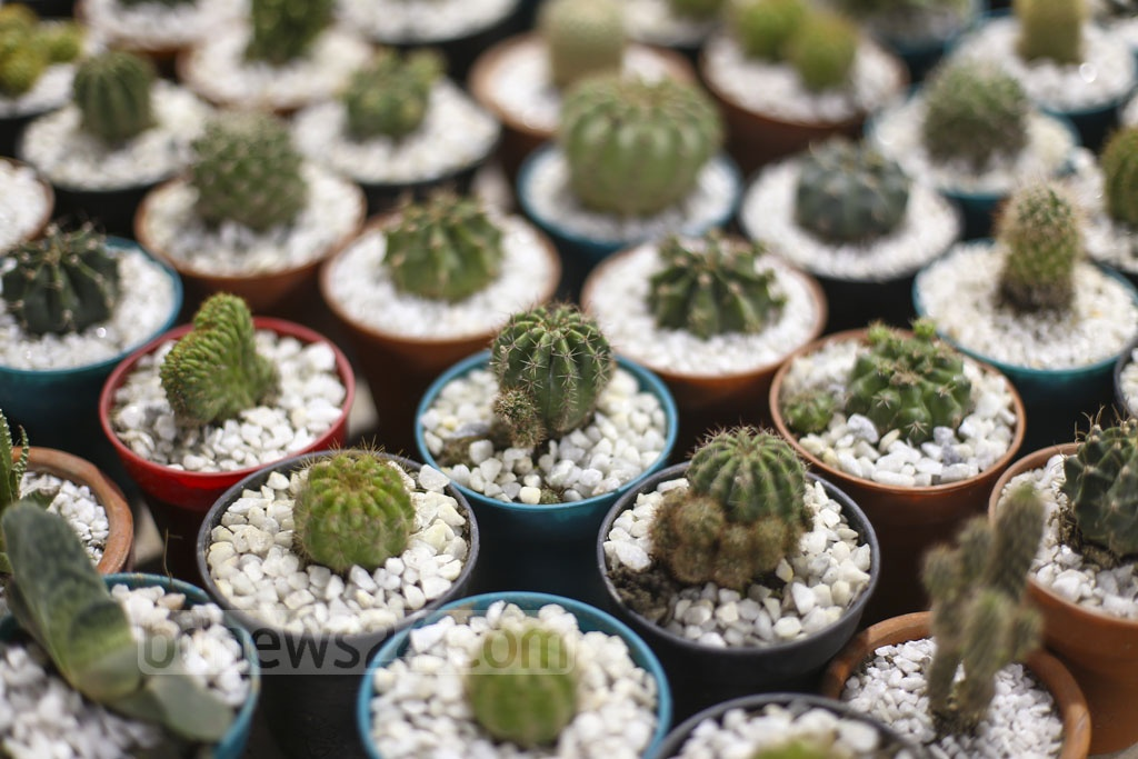A variety of cactus is on display at a tree fair in Dhaka's Agargaon. Each cactus is up for sale at Tk 200 to 12,000. Photo: Mahmud Zaman Ovi