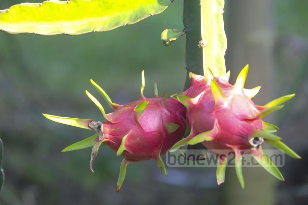 Ripe dragon fruits hang from the trees at an orchard at Joydebpur's Boldha area in Gazipur. Photo: Asif Mahmud Ove