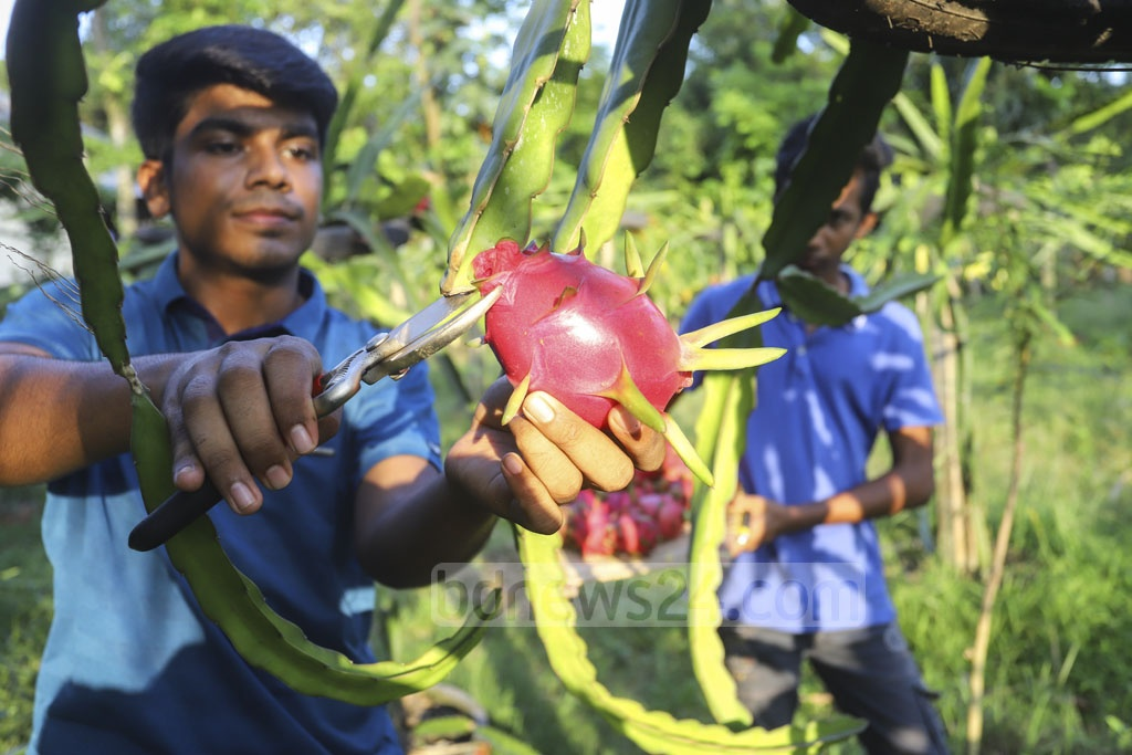 A youth collects dragon fruits from an orchard at Joydebpur's Boldha area in Gazipur. Photo: Asif Mahmud Ove