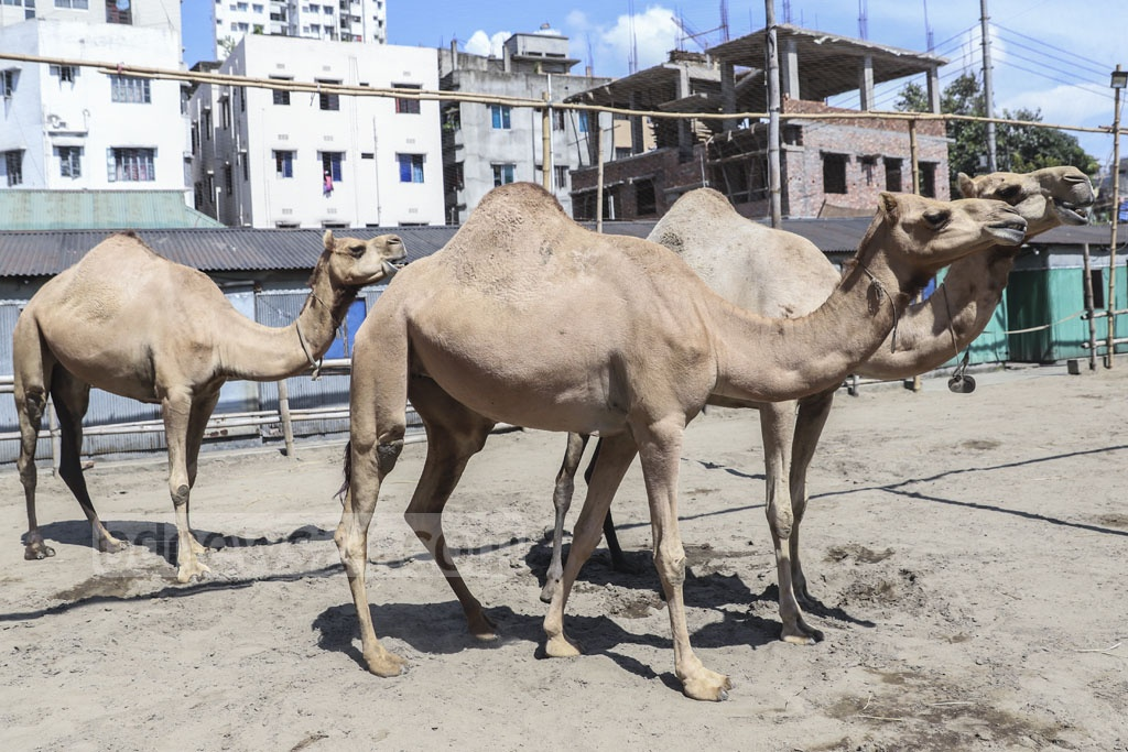 The Dewanbagh Sharif farm in Dhaka's Motijheel has camels and fat-tailed sheep, domestic animals of the Arabs, ready for sale on Eid-ul-Azha. Photo: Abdullah Al Momin