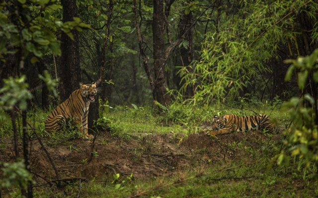 FILE PHOTO - Tigers at a reserve in the Indian state of Maharashtra, Sept. 6, 2018. Wildlife experts say better safety monitoring and stricter wildlife policies have helped the tiger population grow to its largest in about two decades. (Bryan Denton/The New York Times)