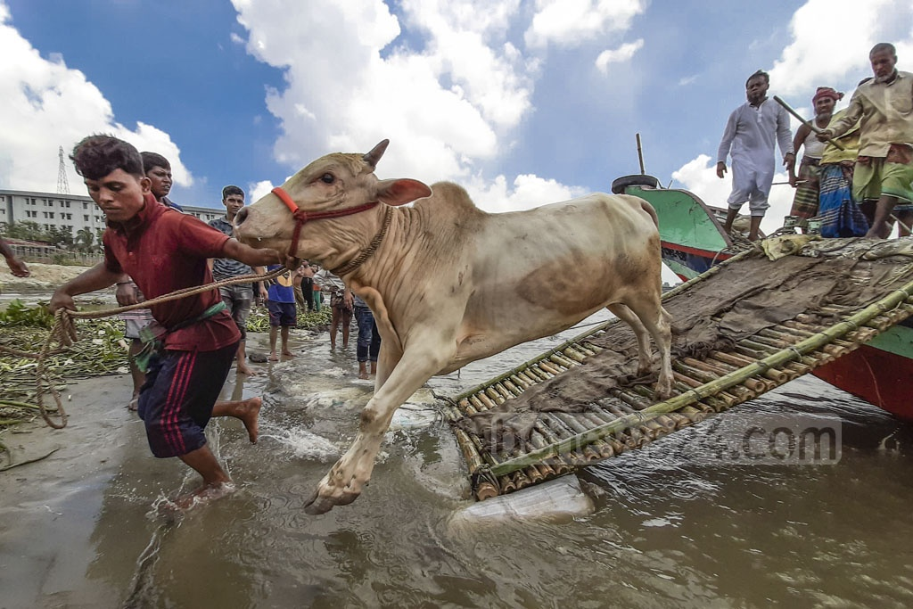 Traders offloading cattle from a boat at Postogola Crematorium Pier in Dhaka on the bank of the Buriganga, where a makeshift market of sacrificial animals has been set up ahead of Eid-ul-Azha. Photo: Abdullah Al Momin