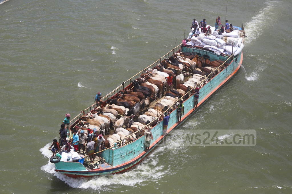A trawler packed with cattle for sacrifice during Eid-ul-Azha is headed for a makeshift market at the Postogola Crematorium Pier in Dhaka. Photo: Abdullah Al Momin