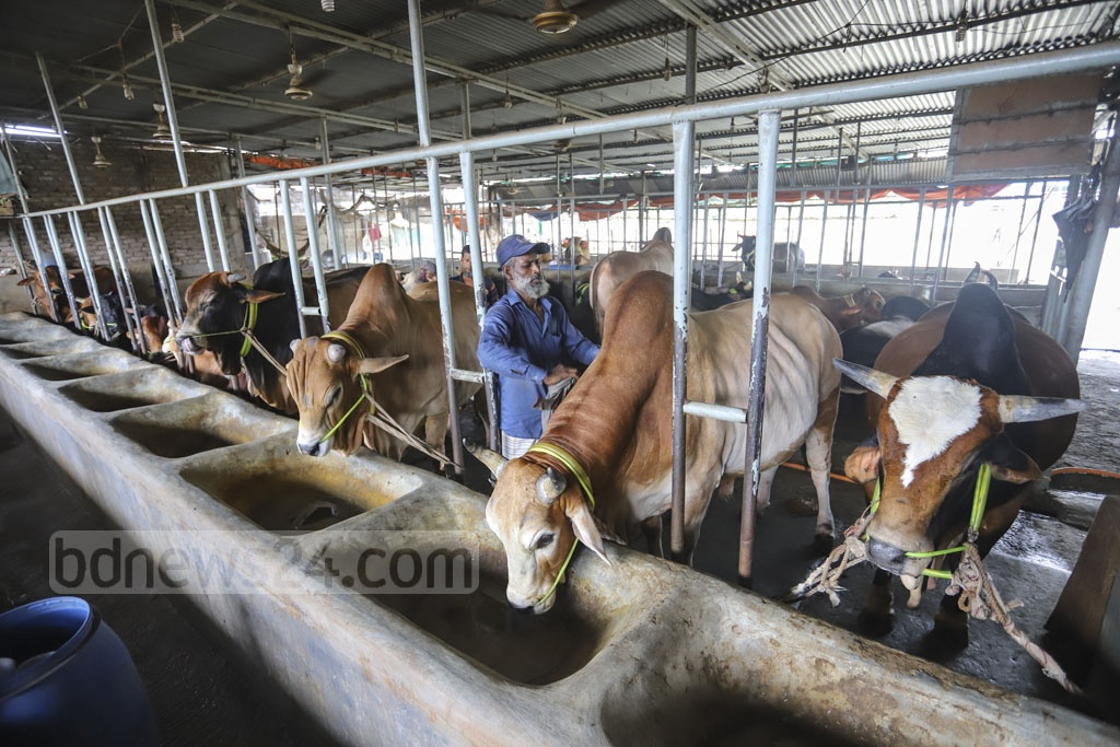 Cattle of different breeds at Samarai Cattle Farm at Hatirjheel in Dhaka as the farm is preparing for Eid-ul-Azha. Photo: Asif Mahmud Ove