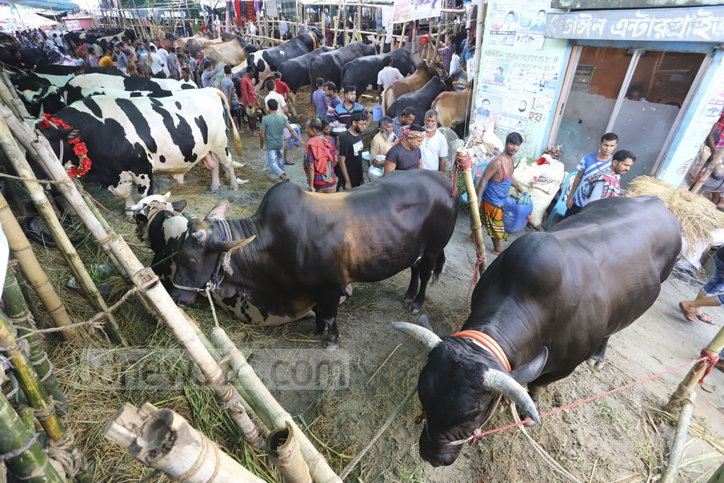 Trading gets lively at Gabtoli Cattle Market on weekly holiday Friday before Eid-ul-Azha. Photo: Asif Mahmud Ove