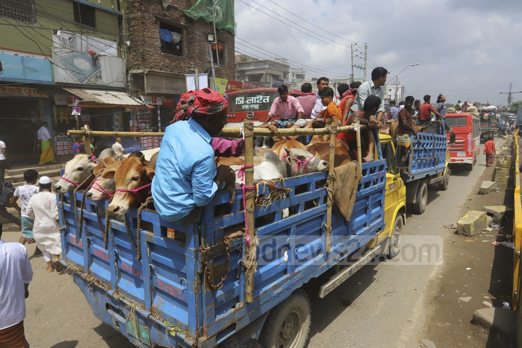 Trucks loaded with cattle for slaughtering during Eid-ul-Azha are arriving in Dhaka every day. This photo was clicked at Gabtoli on Friday. Photo: Asif Mahmud Ove