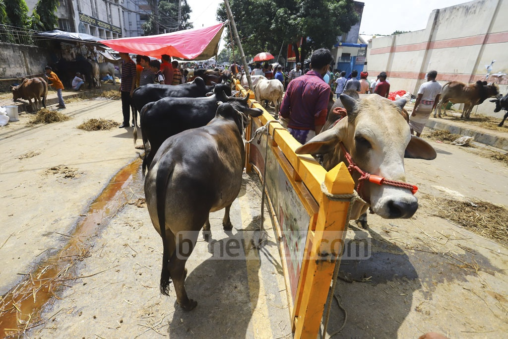 Traders occupied streets and sidewalks with cattle on Saturday as they failed to book any place inside a makeshift market set up for Eid-ul-Azha at Tejgaon in Dhaka. Photo: Asif Mahmud Ove