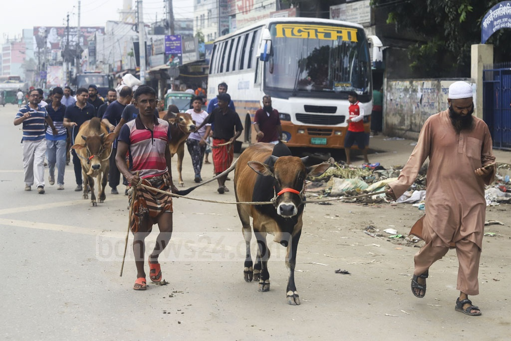 People return home after buying cattle from Gabtoli on Saturday for sacrifice on Eid-ul-Azha. Photo: Asif Mahmud Ove