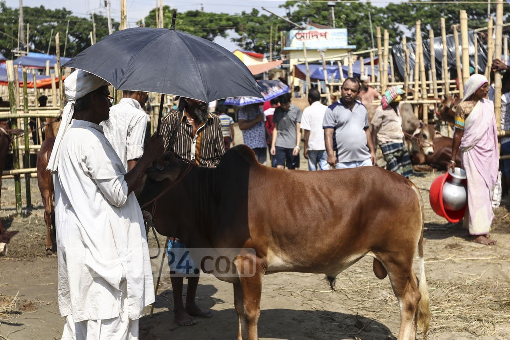 Many traders had a sense of frustration for not getting the asking price of their cattle at the Gabtoli market in Dhaka on Sunday despite bolstered trade on Eid-ul-Azha eve. Photo: Mahmud Zaman Ovi