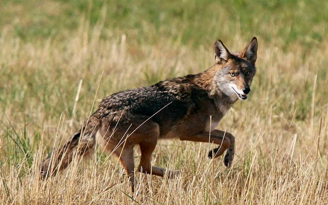 Coyotes are among the main target of devices meant to kill animals that prey on livestock. The New York Times