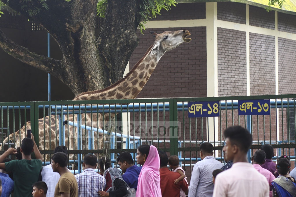 Visitors crowded outside the giraffe cage at Dhaka zoo in Mirpur on Tuesday, a day after the Eid-ul-Azha. Photo: Mahmud Zaman Ovi