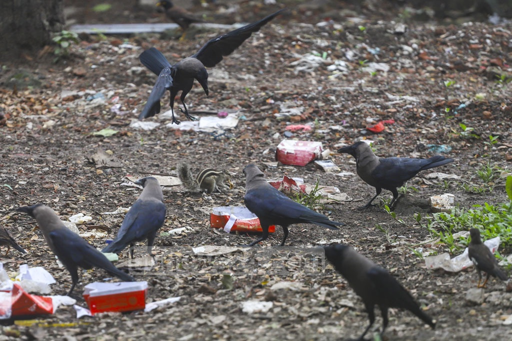 A group of crows swoop down on a squirrel as it gets off a tree in search of food in wastes in front of the National Press Club in Dhaka on Friday. Photo: Abdullah Al Momin