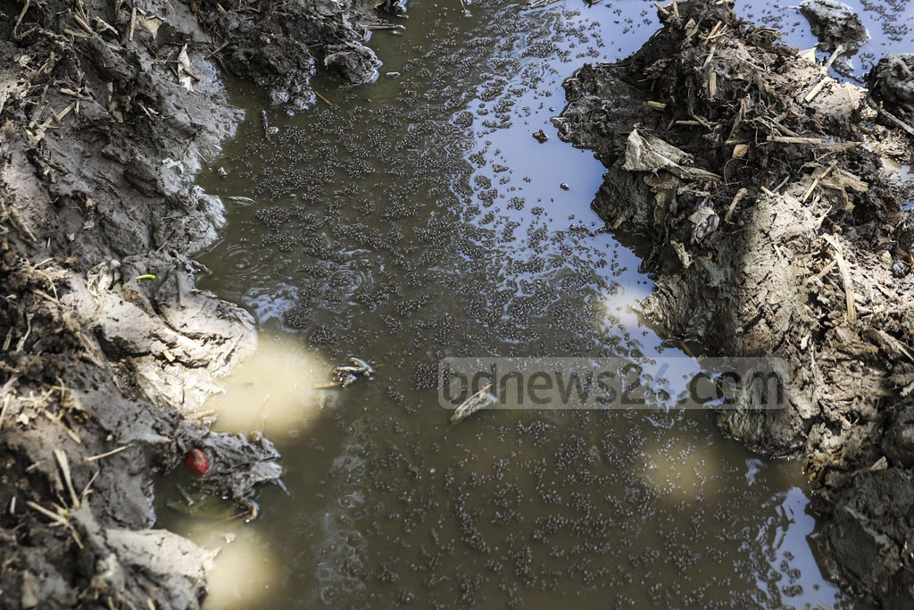 Stagnant water on Dhupkhola DSCC ground in Dhaka has become a mosquito breeding ground as the authorities are yet to clean it days after it was used as cattle market before Eid-ul-Azha. Photo: Abdullah Al Momin