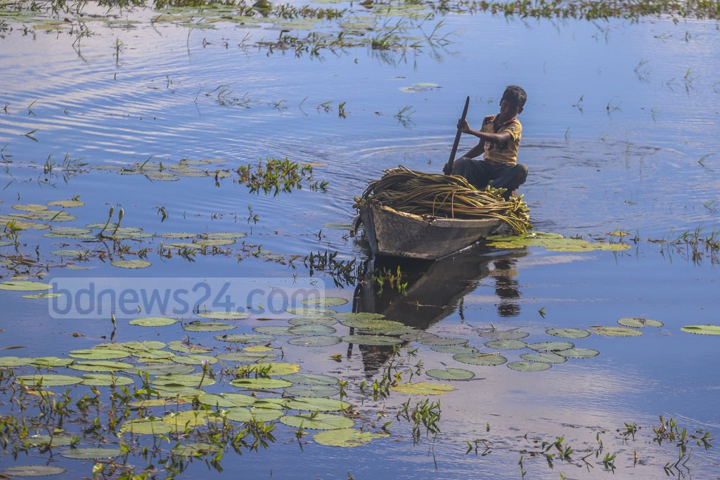 A man carries water lilies on a boat from Arial Beel at Srinagar's Alampur area in Munshiganj on Saturday. Photo: Abdullah Al Momin