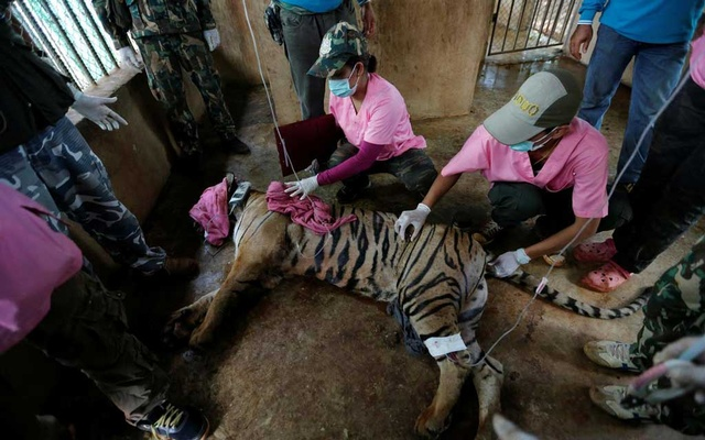 File Photo: A sedated tiger is seen in an enclosure as officials continue moving live tigers from the controversial Tiger Temple, in Kanchanaburi province, west of Bangkok, Thailand, June 3, 2016. Reuters