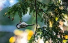 A capped Chickadee in New York's Central Park on Oct. 15, 2016. The New York Times