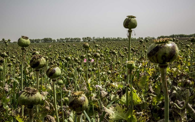 A crop of opium poppies in Garmsir, in the Helmand Province of Afghanistan, Apr 17, 2015. The New York Times