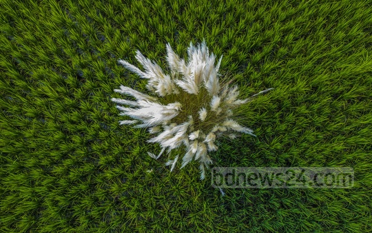 A cluster of catkins or phragmite grass flowers bloom in the middle of a lush green paddy field in Laxmipur's Char Alexander. Photo: Mostafigur Rahman