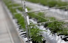 FILE PHOTO: Cannabis plants grow inside the Tilray factory hothouse in Cantanhede, Portugal Apr 24, 2019. REUTERS