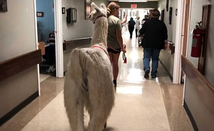 In an image provided by Jennifer Kingson, Tic walks down the hall at the Stockdale Residence and Rehabilitation Centre in Stockdale, Texas, in April. The charismatic llama is a welcome addition at some nursing homes and rehabilitation centres. The New York Times