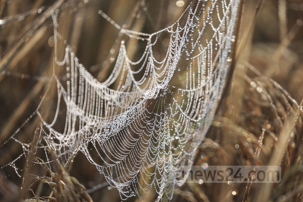 A cobweb littered with dew drops signals the advent of winter. This photo was clicked in Jashore Sadar Upazila. Photo: Mostafigur Rahman