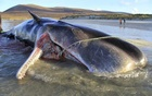 An undated photo provided by the Scottish Marine Animal Stranding Scheme, a local whale research group, shows the 10-year-old dead sperm whale that washed up on a Scottish beach in the Outer Hebrides. The whale had more than 220 pounds of tangled netting, rope, plastic and other debris inside its stomach, according to the group. The New York Times
