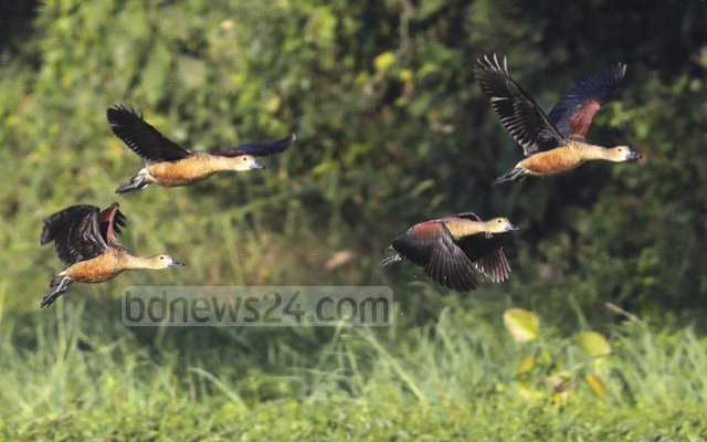 Most of the birds are lesser whistling ducks.