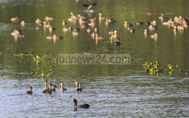 Eurasian coots, which can be usually seen in Sunamganj's Tanguar Haor back-swamp, are among a flock of lesser whistling ducks in the lake on the west side of the botanical garden.