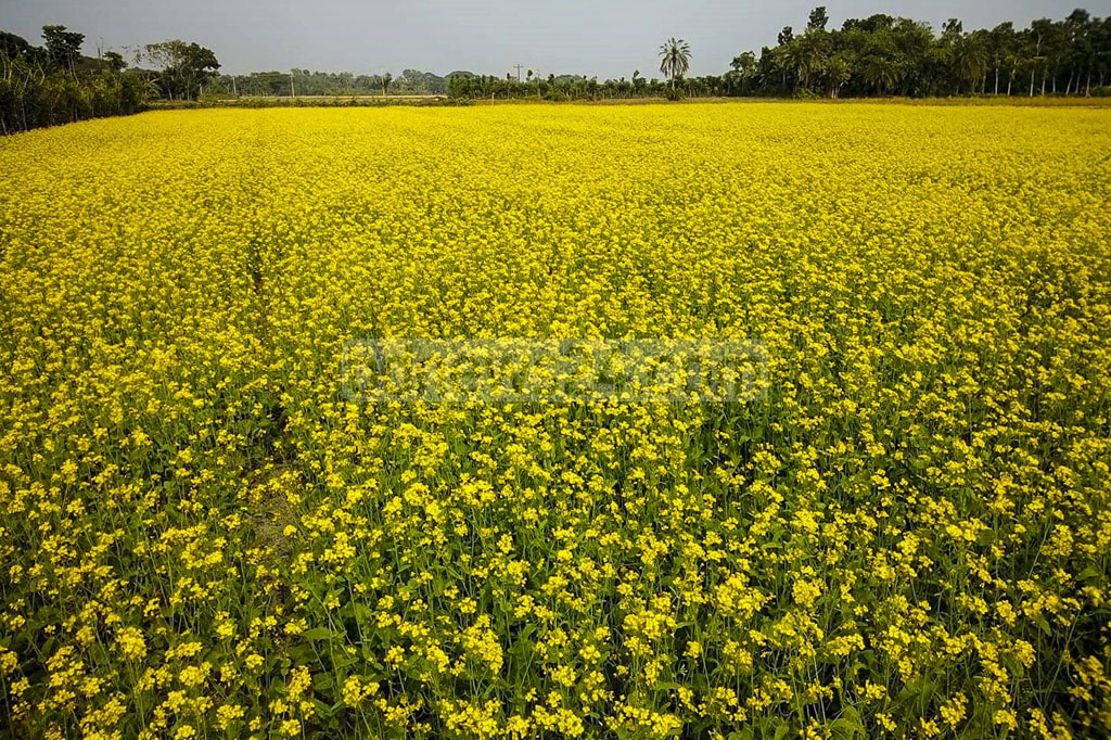 Jashore's farmers favour cultivating mustard because of good yields in a short amount of 0time. The crop has been grown in more than 300 hectares of land this year in the district. The photo was taken in Benapole. Photo: Mostafigur Rahman