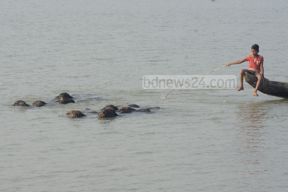 A man and a boy on a boat guiding home their herd of buffalo through the Karnaphuli river after feeding the cattle on a shoal at Kolagaon in Chattogram's Patia. Photo: Suman Babu