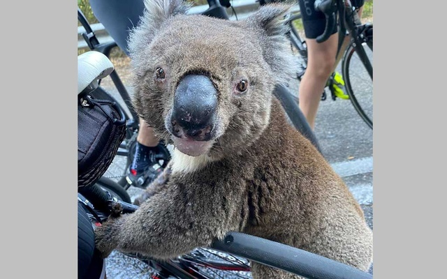 A koala looks at the camera while receiving water from a cyclist during a severe heatwave that hit the region in Australia. REUTERS