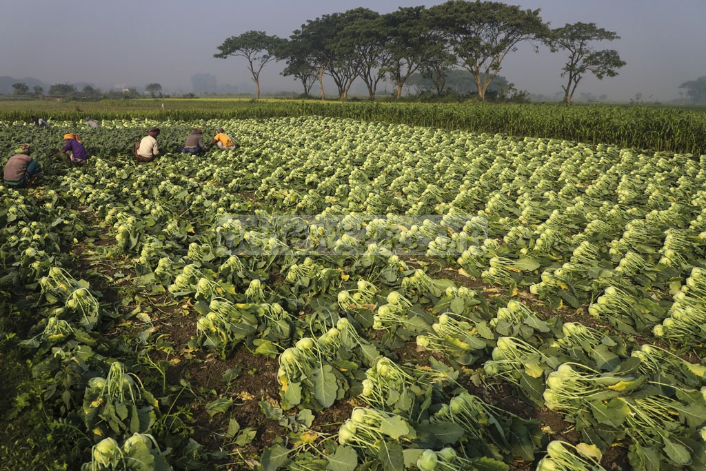 Farmers harvest turnips from a field at Kanarchar in Dhaka's Keraniganj. Photo: Mostafigur Rahman