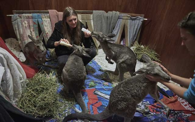 Susan Pulis, left, and Wendy Hendrickson feed kangaroos in a bedroom turned into a temporary shelter on Raymond Island in Australia, Jan 6, 2020. As wildfires have killed at least 24 people, destroyed more than 1,400 homes and ravaged 15 million acres, they have also inflicted a grievous toll on Australia's renowned wildlife. The New York Times